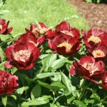 paeonia-chocolate-soldier-1_middle