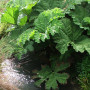 huge-leaves-gunnera