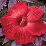 _Гибискус Hibiscus Midnight MarvelQkwqTTZcn0