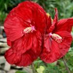 Hibiscus-Robert-Fleming-PP-14,776.i-8347.s-64219.r-01