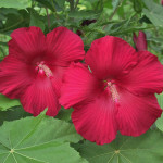 Hibiscus moscheutos « Lord Baltimore »3