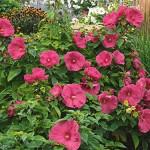 Hibiscus moscheutos «Jazzberry Jam» - гибискус болотный «Jazzberry Jam» 2