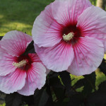 Hibiscus moscheutos Summerific var.«Summer Storm» - гибискус болотный «Summer Storm»1