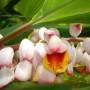 Alpinia-zerumbet-flower