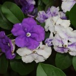 Brunfelsia australis flor