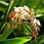 alpinia zerumbet egy 10d 335 assouan jardin botanique cpf 687