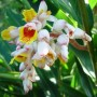 alpinia-zerumbet_shell-ginger-flower