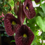 aristolochia-macrophylla-dutchman-s-pipe-1000476888-1429102809