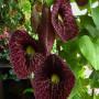 aristolochia-macrophylla-dutchman-s-pipe-1000476888-1429102809