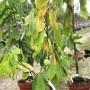 la-papaye-vendeenne-poussera-bientot-dans-nos-jardins - копия