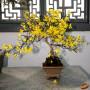 Bonzai & Penjing - Winter jasmine - Jasminum nudiflorum - Oleace
