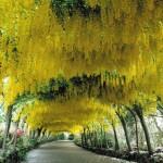bodnant-garden-laburnum