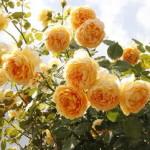 crown_princess_margareta_english_rose_2