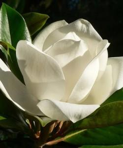 Магнолия (Magnolia Jade Lamp C3 60-80)