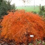 6295-Acer-palmatum-dissectum-Ever-Red