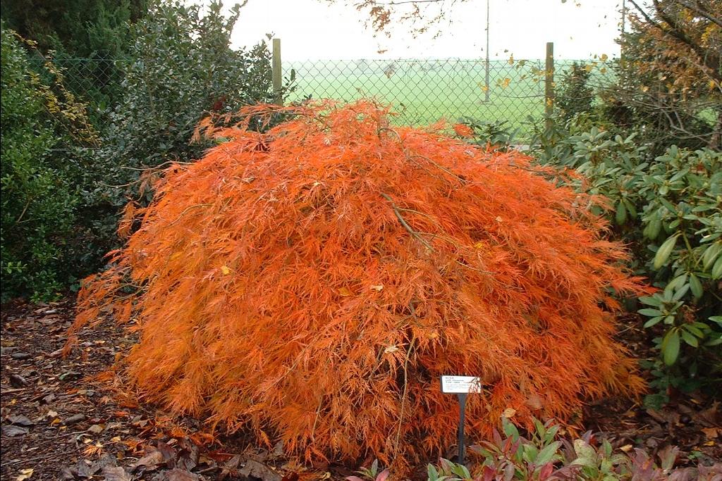 Acer palmatum dissectum ever red ever red - Erable du japon orange dream ...