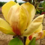 Magnolia-Sunsation