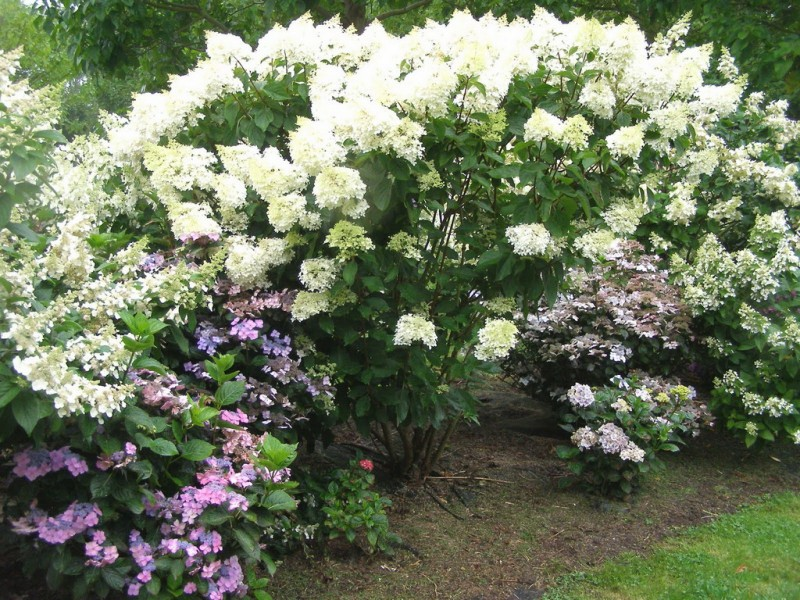 hydrangea paniculata phantom phantom. Black Bedroom Furniture Sets. Home Design Ideas