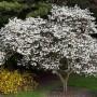 magnolia-kobus (1)