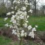 magnoliya_0