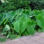 Colocasia_esculenta_A