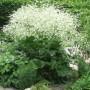 Crambe-cordifolia-520x693