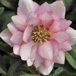 Helleborus-x-hybridus-Cotton-Candy.i-3382.s-64406.r-1