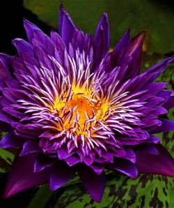 Nymphaea-Plum-Crazy-by-Florida-Aquatic-Nurseries (1)