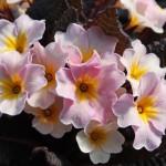 Primula vulgaris 'Avoca'