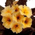 Primula vulgaris -Claddagh-