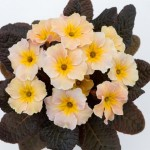 Primula vulgaris 'Dunbeg'