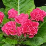 Primula vulgaris 'Mark Viette'