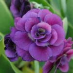 Primula x pubescens 'Xavier' 2