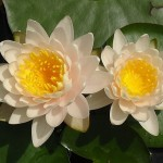 Waterlily_Nymphaea_Walter_Pagels