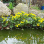 aqua-pond-caltha-palustris