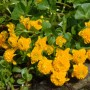 caltha-palustris-plena