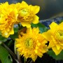 caltha_palustris_multiplex_gross