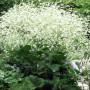 crambe_cordifolia