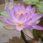 siam-purple-002