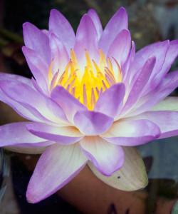 siam-purple-004