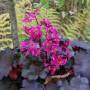Saxifraga cortusifolia var. fortunei 'Black Ruby' bestes DSCN4905
