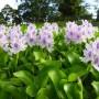 pond_plants_giacint