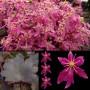 saxifraga_cortusifolia_hybride_black_ruby_1