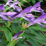 0033866_roscoea-purpurea-gemengd_300