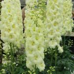 4493_delfinium-belladonna-yellow-p