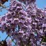 500-seminte-paulownia-tomentosa-500-seminte-paulownia-elongata-500-1651831