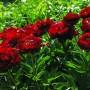 5246_Paeonia-lactiflora-'Buckeye-Belle'