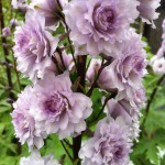 5742d18067893-copy-of-delphinium-cha-cha (1)