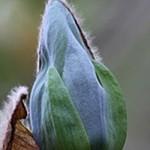 9580_0_Magnolia-acuminata--Blue-Opal-