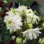 Aquilegia-vulgaris-White-Barlow